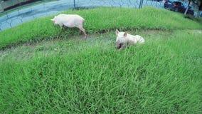 Pig on street. On road to Svan village in Georgia runs pig stock video