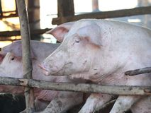 Pig in the sty Stock Photo