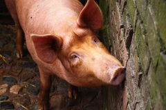 Pig in sty Stock Photography