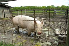 Pig in sty. Bailey farm, dunes state park, Indiana Stock Photography