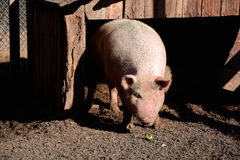 Pig in sty Stock Photos