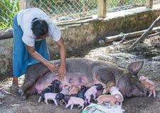A pig suckling piglets. BAGAN, MYANMAR, SEP 06 : A pig suckling piglets in a village near Bagan on September 06 2017 Stock Photography