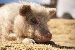 Pig in the sun royalty free stock image