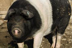 Pig Sus Domesticus Royalty Free Stock Images