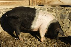 Pig sus domesticus. Large adult pig in a paddock Stock Photos
