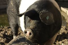 Pig sus domesticus. Large adult pig in a paddock Stock Images