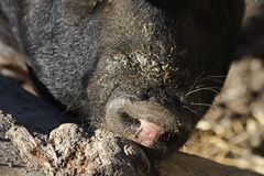 Pig sus domesticus. Large adult pig in a paddock, detail snout of a pig captive Stock Image