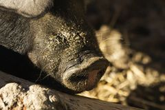 Pig sus domesticus Royalty Free Stock Photography