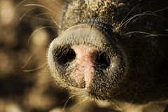 Pig sus domesticus. Large adult pig in a paddock, detail snout of a pig captive Stock Images