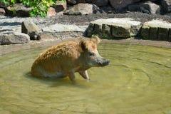 Pig swim Royalty Free Stock Image