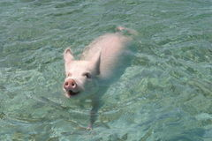 Pig swimming. A pig swimming in the Ocean in the Bahamas Stock Photo