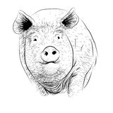 Pig, swine, hog sow piggy piglet piggie pigling brawn boar grown Royalty Free Stock Image