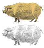Pig or swine in vintage engraved style Royalty Free Stock Photos