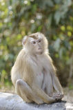 Pig tailed macaque Royalty Free Stock Images