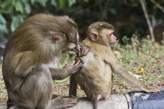 Pig-tailed macaque Royalty Free Stock Image