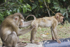 Pig-tailed macaque Royalty Free Stock Photos
