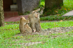 Pig-tailed macaque. Beautiful pig-tailed macaque (Macaca nemestrina) in Thai forest Royalty Free Stock Images