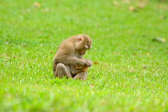 Pig-tailed macaque. Beautiful pig-tailed macaque (Macaca nemestrina) in Thai forest Stock Photo