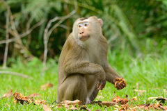 Pig-tailed macaque Stock Photo