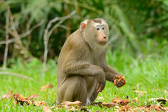 Pig-tailed macaque. Beautiful pig-tailed macaque (Macaca nemestrina) in Thai forest Royalty Free Stock Photos