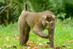 Pig-tailed macaque. Beautiful pig-tailed macaque (Macaca nemestrina) in Thai forest Royalty Free Stock Photo
