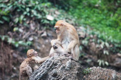 Pig tailed macaque Stock Photography