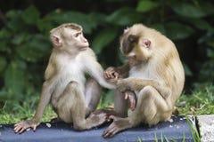 Pig-tailed macaque at Khao Yai national park Stock Photos
