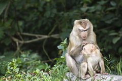 Pig-tailed macaque at Khao Yai national park Stock Image