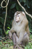 Pig-tailed macaque at Khao Yai national park Royalty Free Stock Photos