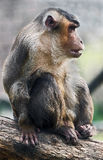 Pig-tailed macaque 1 Royalty Free Stock Photo