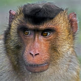 Pig-tailed macaque 2 Stock Photo