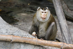 Pig-tailed macaque (Macaca nemestrina). Holds ear of corn in hand Royalty Free Stock Images