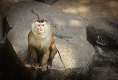 Pig-tailed macaque Stock Images