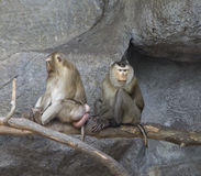 Pig-tailed macaques Royalty Free Stock Image
