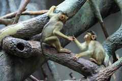 Pig-tailed macaques Royalty Free Stock Photo