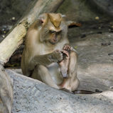 Pig-tailed macaques Royalty Free Stock Images