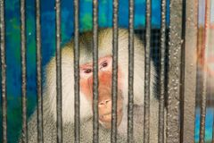 Pig-tailed monkey is sad in the cage looking something outside stock photos