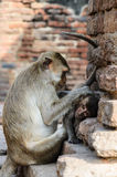 Pig-tailed Monkeys, Mother and baby Stock Photography
