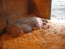 Pig Takes a Nap Royalty Free Stock Image