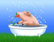 Pig Taking Bath Stock Image