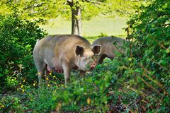 Pig in the thicket Royalty Free Stock Photos