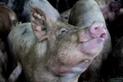 Pig thirsty, eat water in Farm. Stock Images