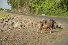 Pig to walk by the sea Royalty Free Stock Image