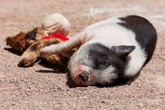 Pig with a Toy. A cute little black and white pig sleeping in the sunshine with its stuffed toy stock photography