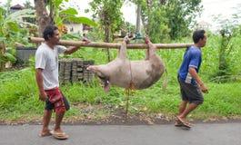Pig transport Stock Photo