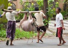 Pig transport Royalty Free Stock Image