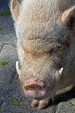 Pig with tusks. Hairy big pig with tusks Royalty Free Stock Photos