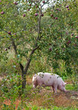 Pig under the apple tree. Pink pig under the apple tree Stock Photos
