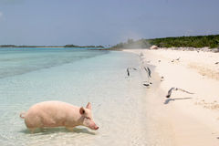 Pig on vacation. Pig on an island beach Royalty Free Stock Image