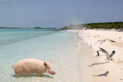 Pig on vacation. Pig on a remote beach with sea gulls Stock Photography